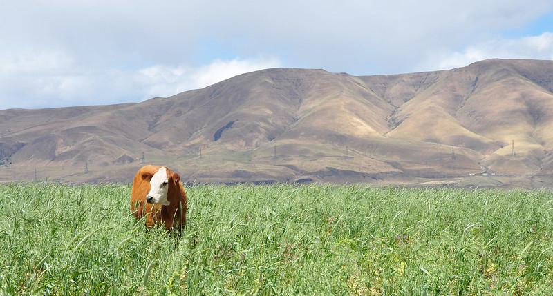 Cover crops in Oregon_NRCS
