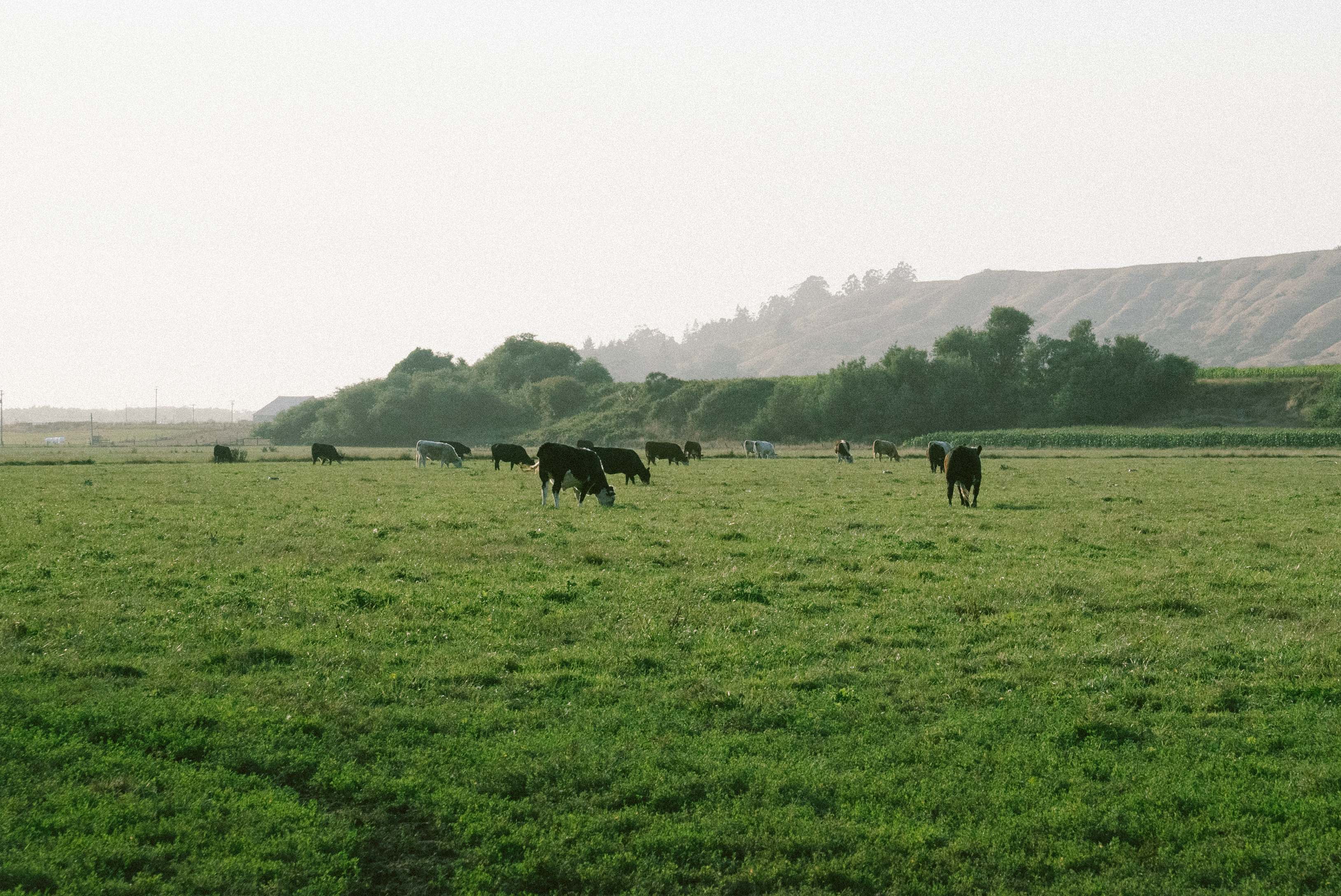 local, grass-fed beef