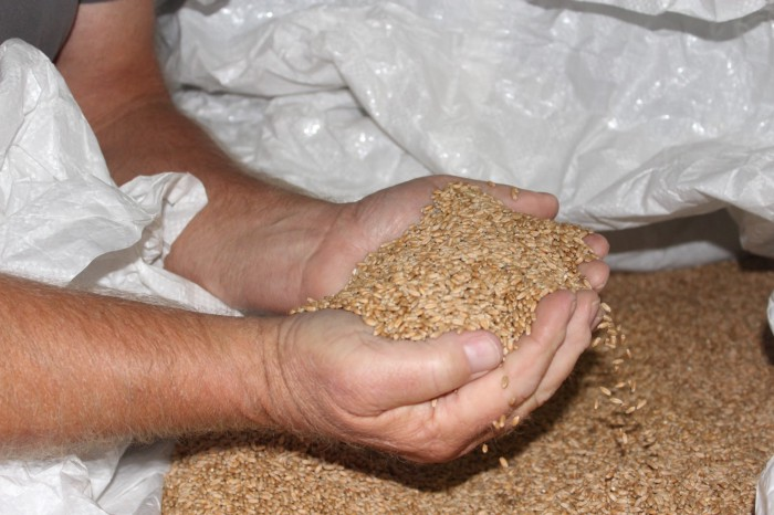 Jaine's Farm organic wheat ready of milling_Golda Ewalt