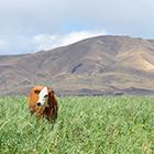 Cover crops in Oregon